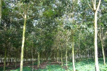 natural-rubber-tree-1